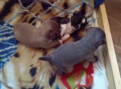 Бронь- щенки чихуахуа рекіх забарвлень
